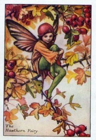 The Hawthorn Fairy.