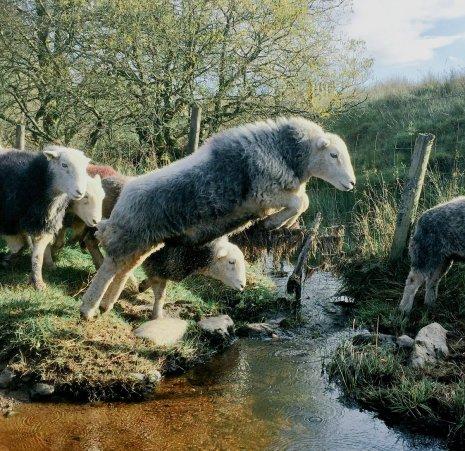 Herdwick Sheep, crossing the beck.jpg