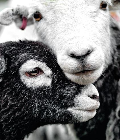 herdwick_icon_sheep.jpg