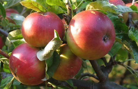 Apple-Worcester-Pearmain