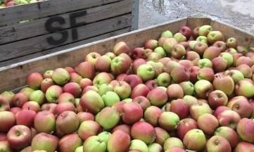 The Original Bramley apples are smaller, sweeter and have a red hue.