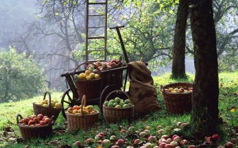 Scrumptious English Apples, and there are many delights to be had. At the National Fruit Collection at Brogdale Farm in Kent there are an astonishing 2,200 varieties of apples held