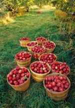 English apples stand for diversity and seasonality at their best.