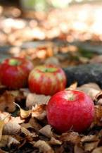 Worcester Pearmain, a small, sweet apple with a deep crimson flush that is perfect for eating with cheese.