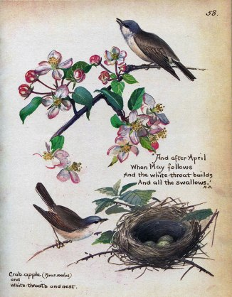 Whitethroats and nest, May 1906 | Edith Holden