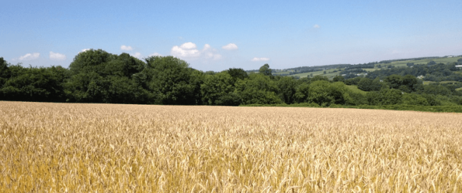 combed wheat reed on the Blackdown Hills